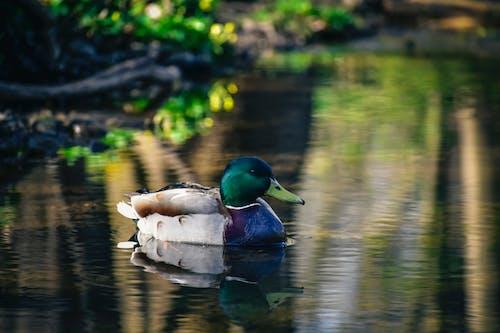 Duck swimming near coast of lake
