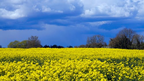 Yellow Flower Field Under Blue Sky