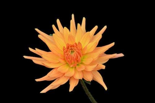 Photos gratuites de botanique, chrysanthème, fleur, fleur d'automne