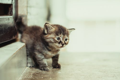 Brown Tabby Kitten on Brown Wooden Table