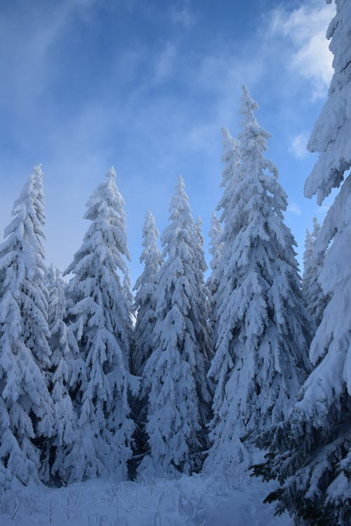 Snow Covered Pine Trees Under Blue Sky