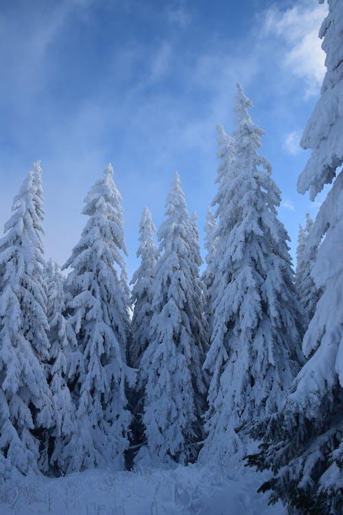 Бесплатное стоковое фото с вечнозеленый, гора, деревья