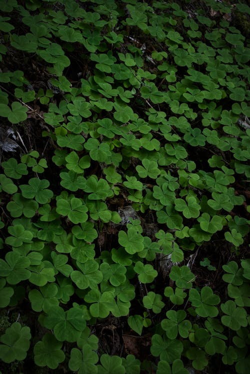 Free stock photo of clover, clovers, forest, forest floor