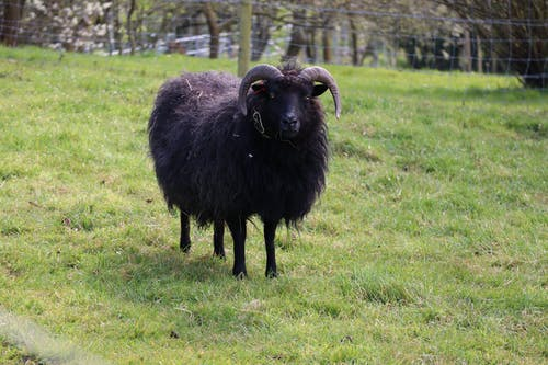 Black Sheep on Green Grass Field