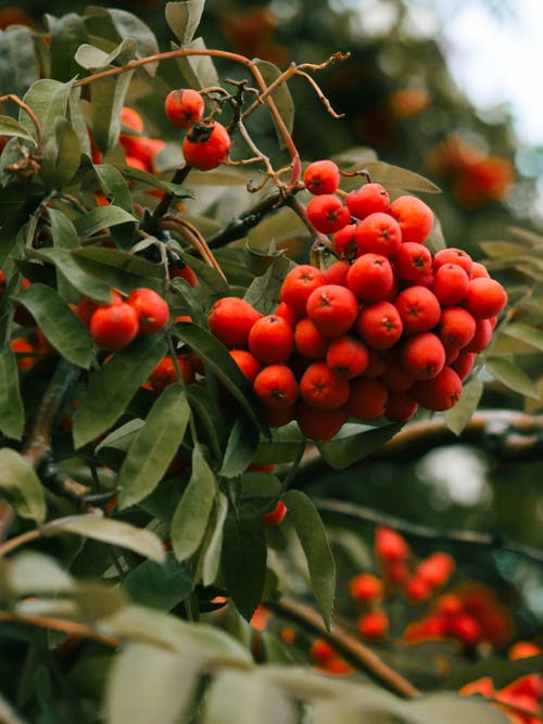 Red Round Fruits on Tree