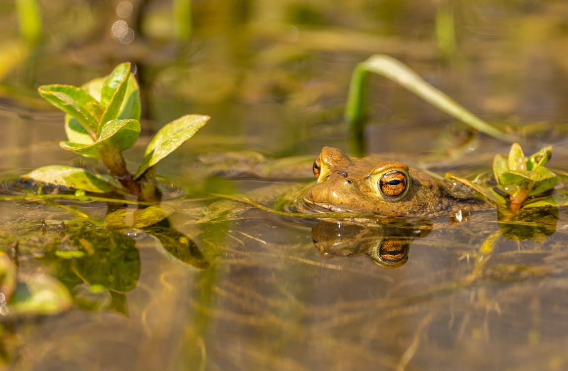 Green Frog on Water
