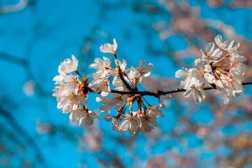 Безкоштовне стокове фото на тему «HD шпалери, білі квіти, великий план»