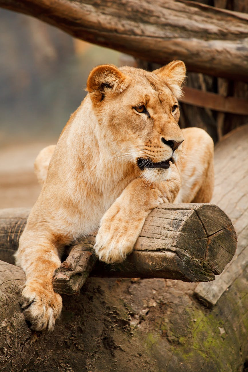 dreaming of a lion, dream of a lion