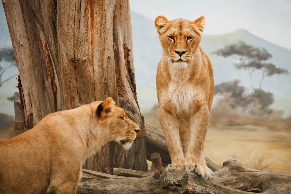 Kostenloses Stock Foto zu afrika, fleischfresser, katzen