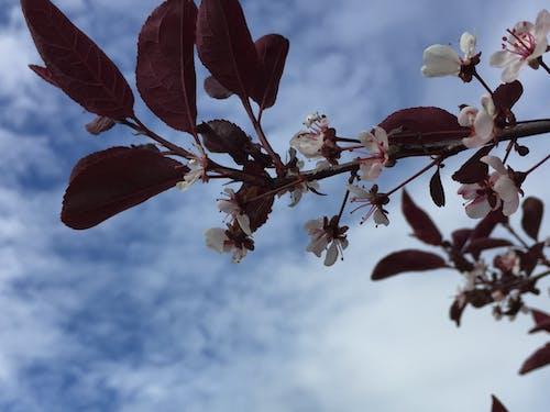 Fotos de stock gratuitas de cielo nublado, ciruelo floreciente