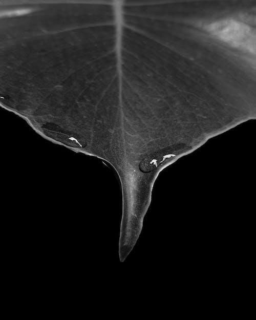 Monochrome Photo Of Leaf