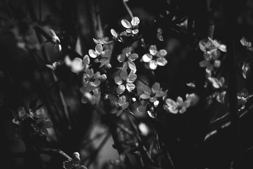 Grayscale Photo of White Flowers