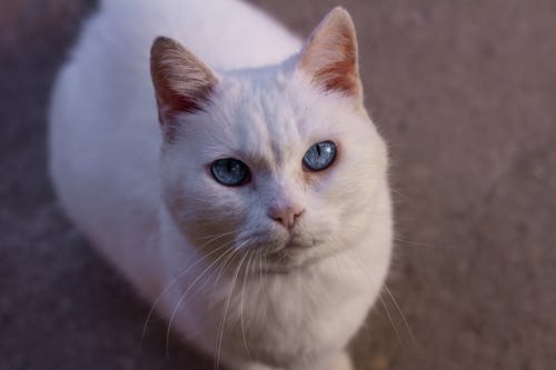Close-Up Photo Of Cat With Blue Eyes