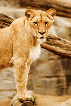Lioness Lying Brown Tree Trunk Free Stock