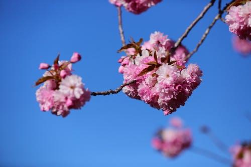 Fotos de stock gratuitas de cerezo floreciente, cielo azul, flores