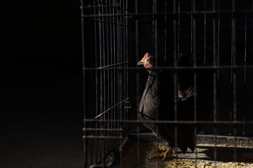 Side view of domestic pullet with pointed beak and black plumage with red comb on head standing on straw in hen house on black background
