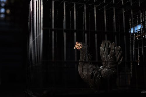 Brown Hen in Cage