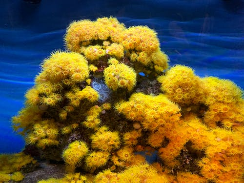 Colorful gentle Orange cup coral lushly growing in clear blue water behind glass