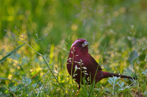 Red Bird on Green Grass