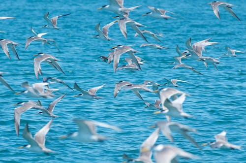 Many predatory birds with white plumage flying with spread wings above bright ocean with rippled water in summer