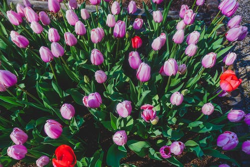 Free stock photo of blooms, easter, flowers
