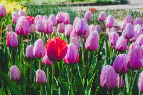 Free stock photo of blooms, easter, garden