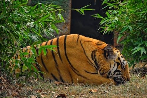 Tiger Sleeping in Zoo