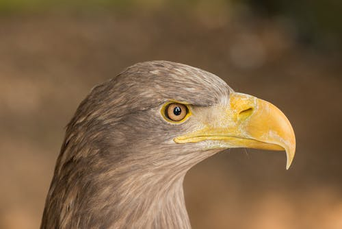 Side view of powerful white tailed eagle bird with yellow beak in wild nature