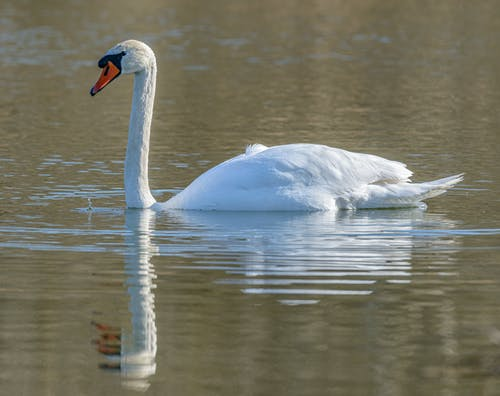 Close-Up Photo Of Swan On Water