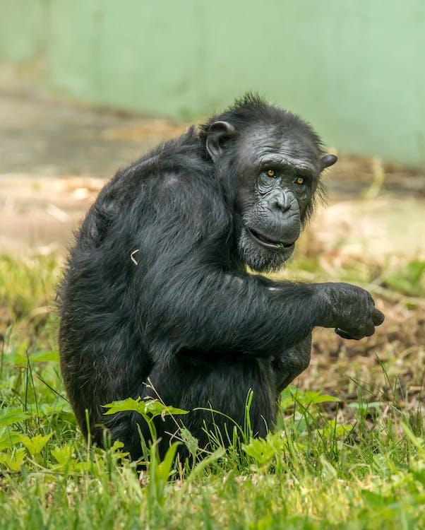Photo Of Ape On Grass