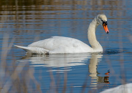Photo Of Swan On Water