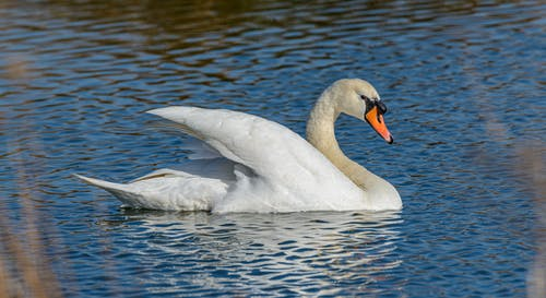 Photo Of White Swan On Water