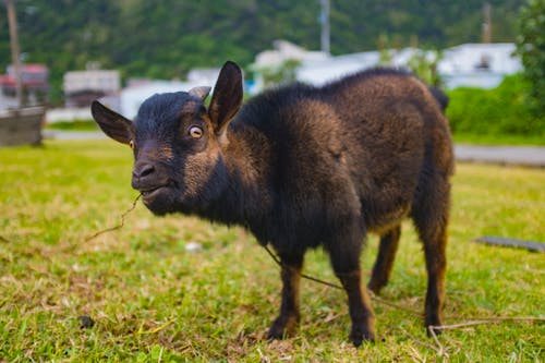 Domestic goat pasturing on green meadow