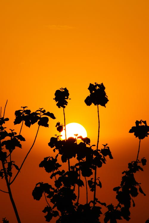 Silhouette of Leaves during Sunset