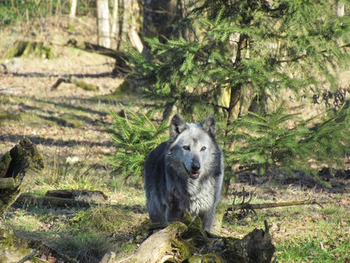 Photo Of Wolf During Daytime