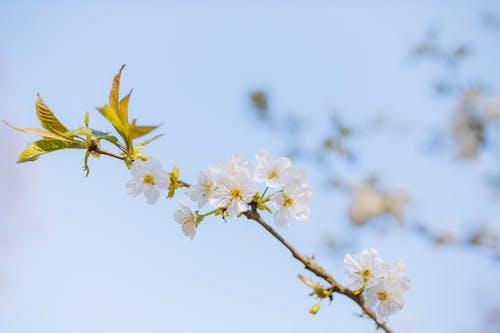 Základová fotografie zdarma na téma bílé květy, flóra, hloubka ostrosti, jaro
