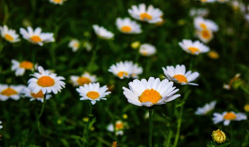 White Daisy Flower Field