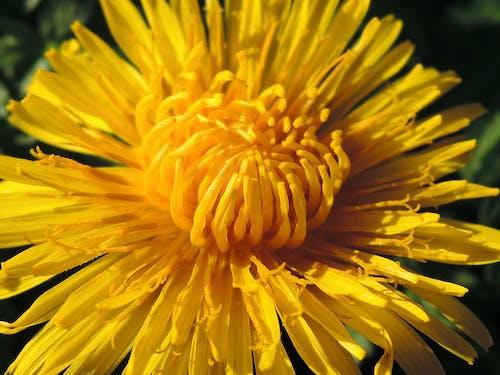 Free stock photo of flower, macro, yellow