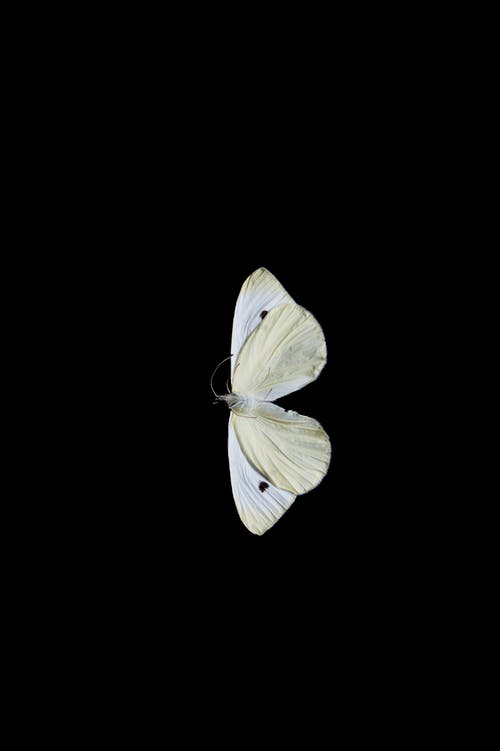 Free stock photo of black background, butterfly, dead insect, still life