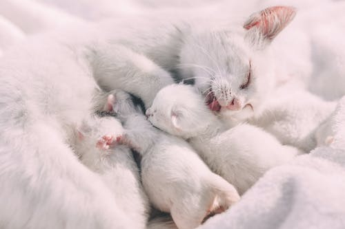 White Cat and Kittens Close-up Photography