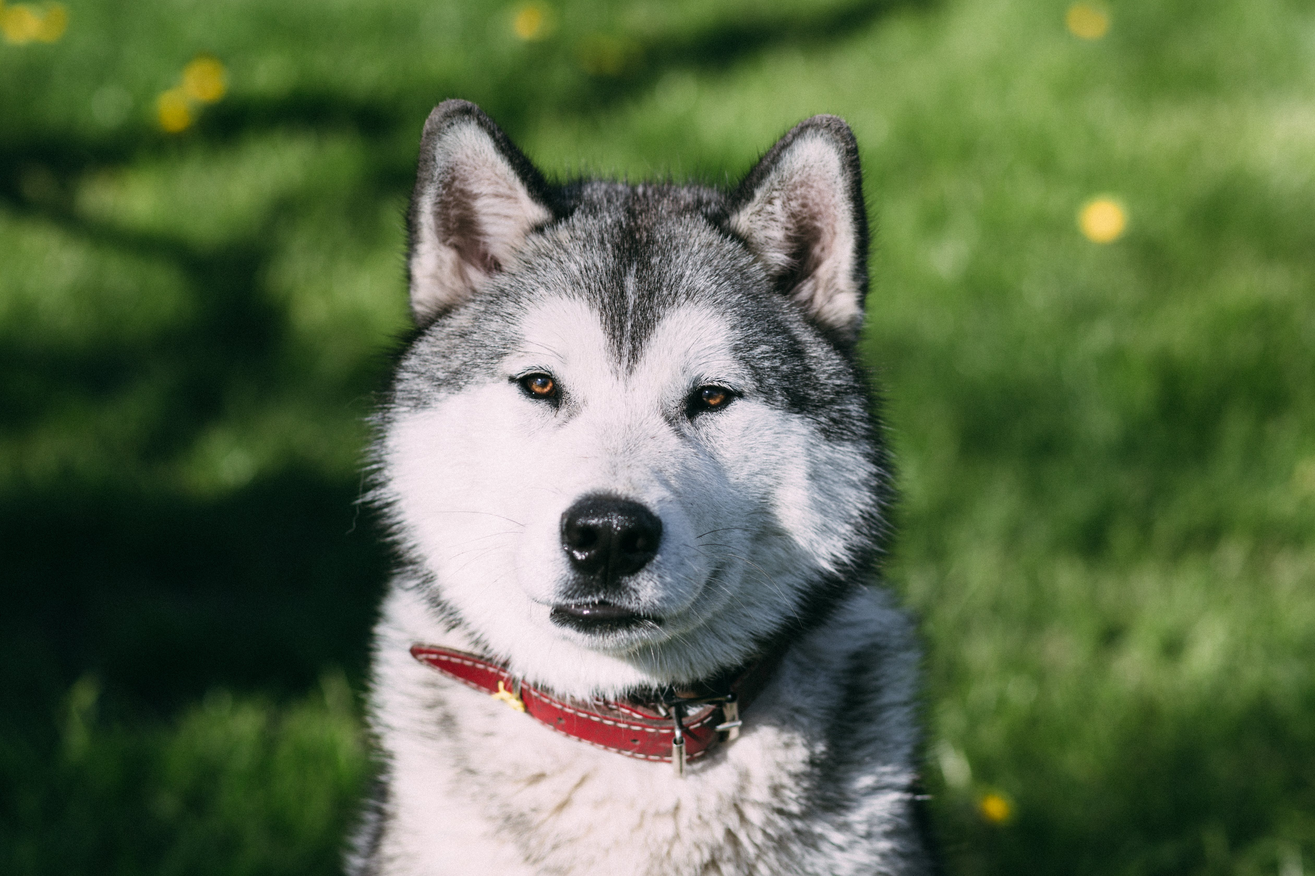 Selective Focus Photo of Adult White and Black Siberian Husky