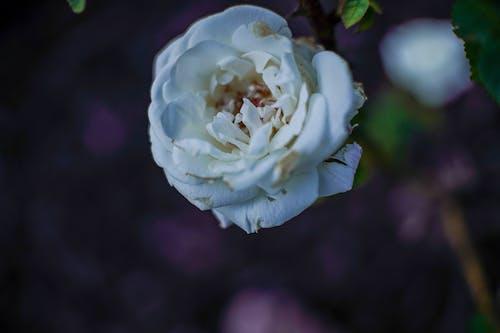 Free stock photo of beautiful, beautiful flower, beautiful flowers, bokeh