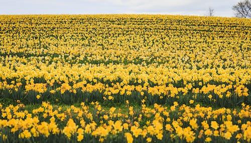 Immagine gratuita di bellissimo, bocciolo, campo, crescita