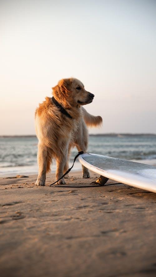 Photo Of Golden Retriever On Beach Shore