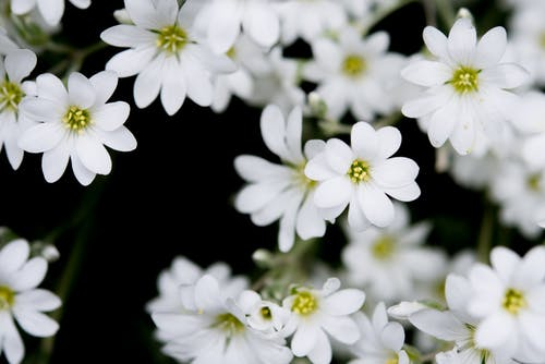 Closeup Photography of White Clustered Flowers