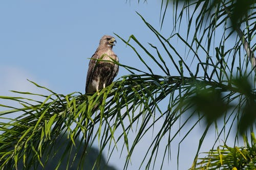 From below of common buzzard sitting on branch with long leaves and looking away with beak opened