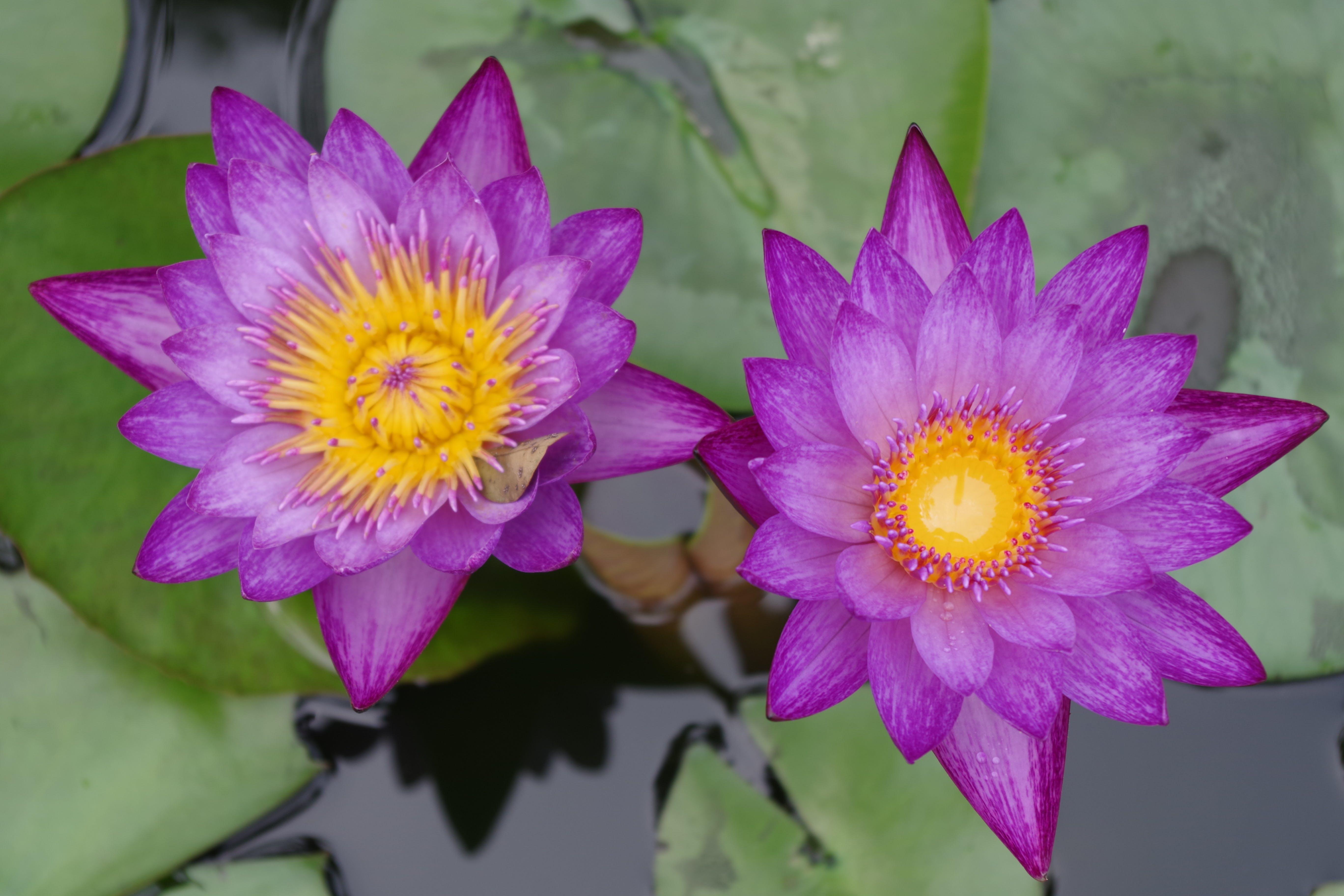 Free stock photo of flowers, purple, pond, tropical