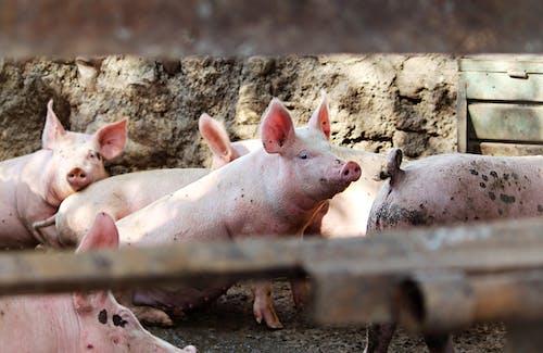 Female pig in pigsty in sunlight