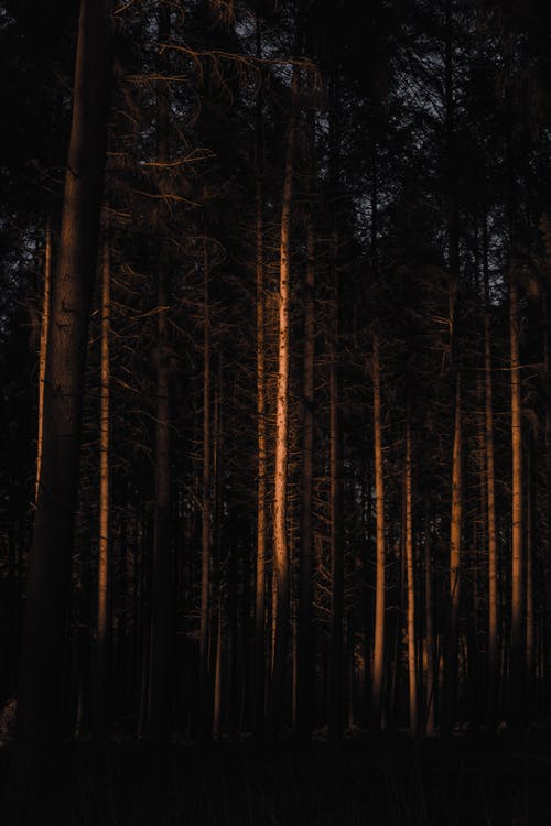 Leafless coniferous in dark forest
