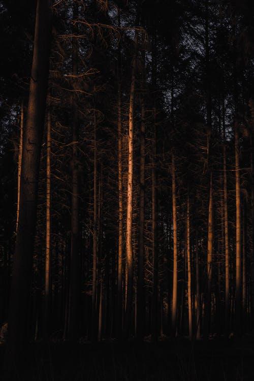 Leafless coniferous in dark forest